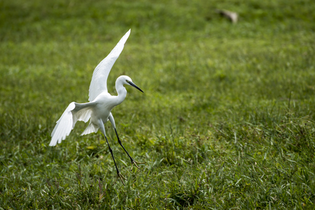 Landing of the little egret (Egretta garzetta) small heron for fishing in water in Kampala, Uganda, Africa Stock Photo