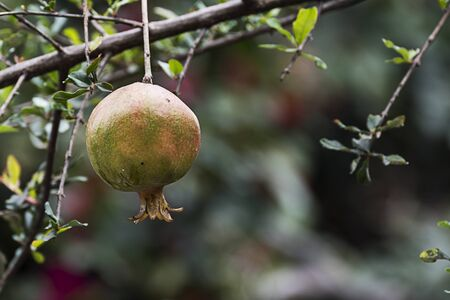 Ripe pomegranate fruit on tree branch in Addis Ababa, Ethiopia Imagens - 131800413