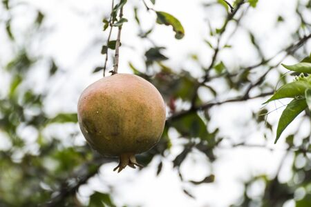 Ripe pomegranate fruit on tree branch in Addis Ababa, Ethiopia