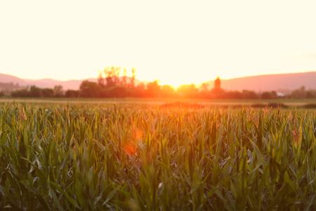 champ de mais: Cornfield au coucher du soleil