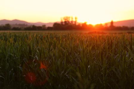 champ de maïs: Cornfield au coucher du soleil