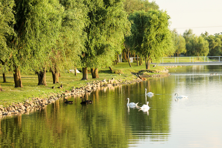 swans in lake near trees