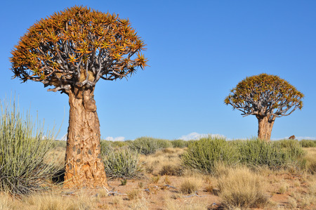 quiver: Quiver tree forest landscape, Namibia Stock Photo