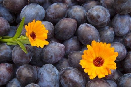 Blue plums with two pot marigold flower Stock Photo - 17331194