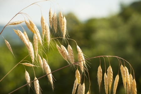 wild oats: Wild oats plant on a meadow against sunset