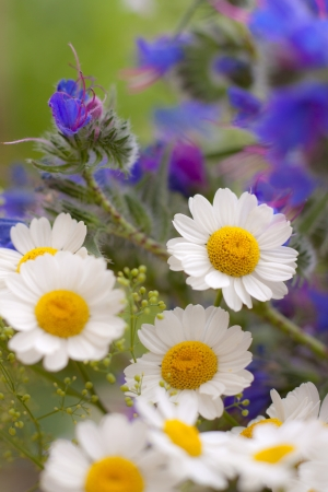 Beautiful daisy flowers. Blurred background photo