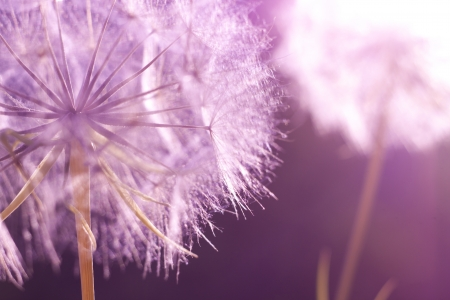 Flower Dandelion at sunset. Close-up Imagens