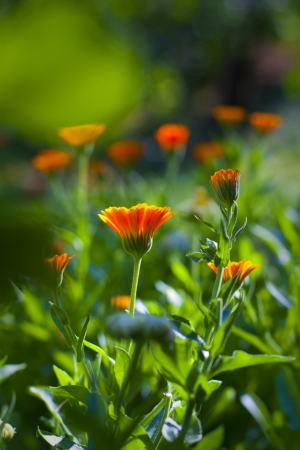 Beautiful orange flower. Marigold Stock Photo - 21563270