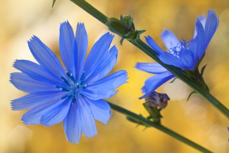 Blue wild flowers. Chicory blooming Stock fotó
