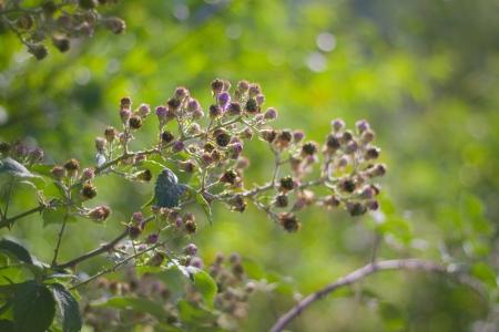 blackberry bush: Blackberry bush against sunset