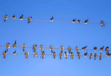 Swallows swarm sitting on a wire with clear blue sky in the background. Multitude of birds Stock Photo