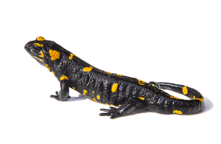Black and yellow salamander lizard on white background Foto de archivo