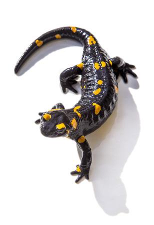 Black and yellow salamander lizard on white background 스톡 콘텐츠