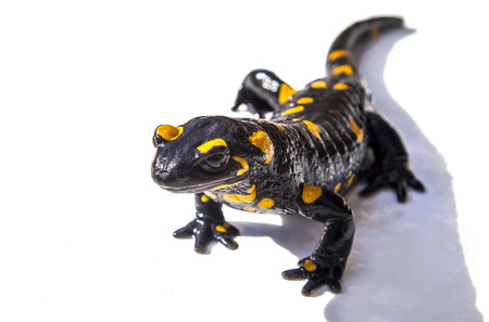 Black and yellow salamander lizard on white background Stock Photo