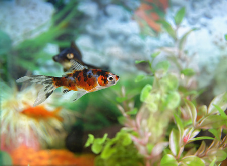 ornamental fish: ornamental fish in background and plants