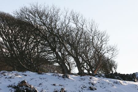 windswept: Snowy, Windswept Trees on hill