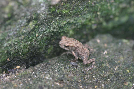 poised: A frog poised to leap. A green rock visible in the background. Stock Photo