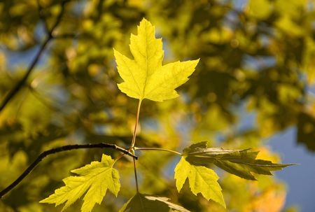 autmn: Autmn Leaves in the sun