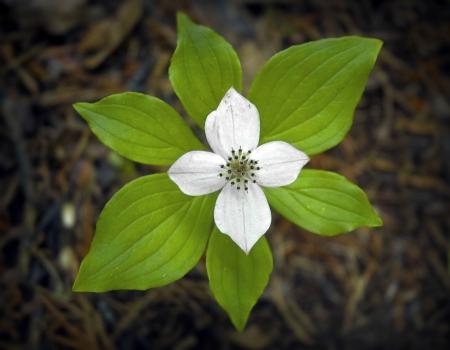 trillium: Trillium Flower Stock Photo