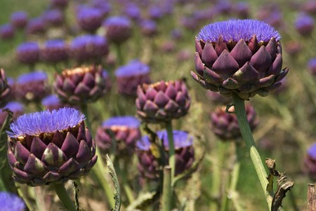 A field of artichokes grown for their flowers