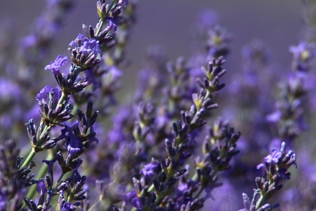 Close-up on lavender flowers in a field Stock Photo