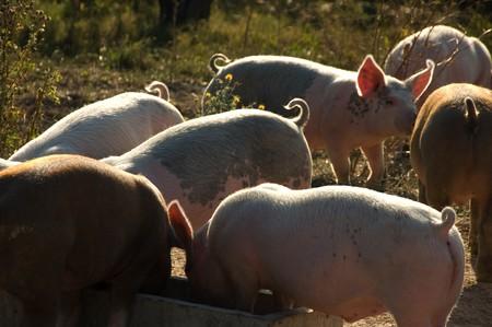 Cute piglets seen at an organic farm 스톡 콘텐츠
