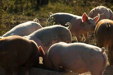 Cute piglets seen at an organic farm Stock Photo