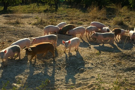 Cute and happy piglets seen at an organic farm Stock Photo - 4353565