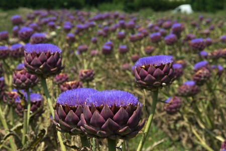 Field of bloomed artichokes Stock Photo