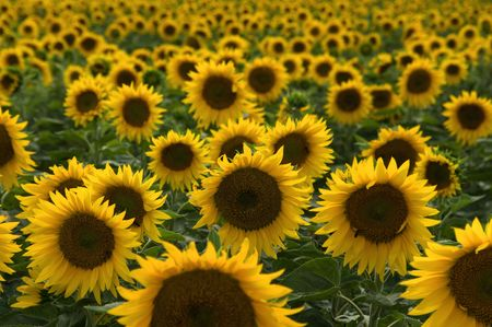 A background with sunflowers Stock Photo