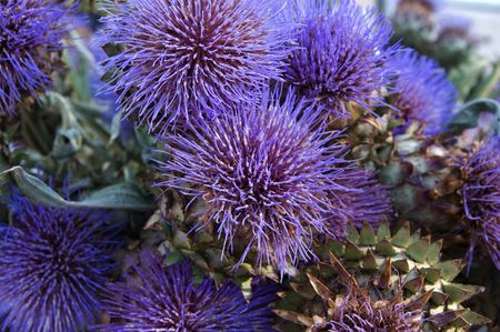 Colorful and bloomed artichoke flower