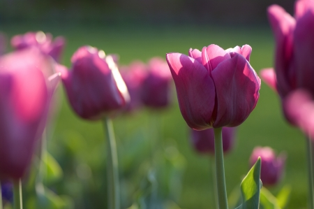 Group of purple tulips photo