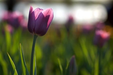 One single purple tulip Standard-Bild