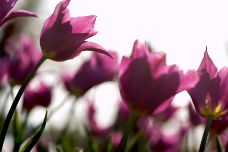 Group of pointed petals purple tulips