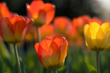 beautiful red tulips close up: Group of red and yellow tulips Stock Photo