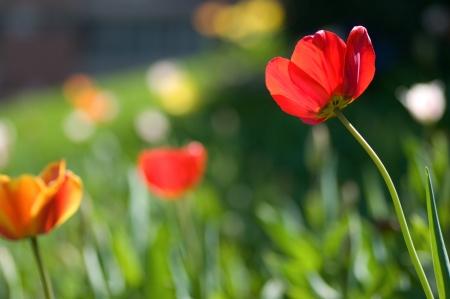 Fresh looking scene with tulips Standard-Bild