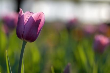 One single purple tulip