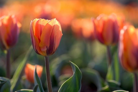 Orange tulips photo