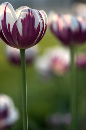 Focus on purple and white Rembrandt tulip photo