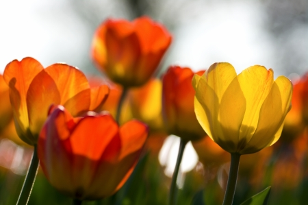 non urban scene: Focus on a few tulips with backlit