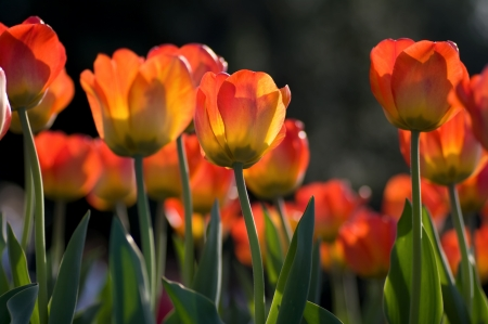 beautiful red tulips close up: Tulips with dark background Stock Photo