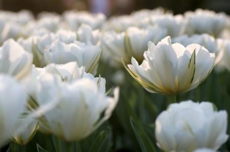 Beautiful white tulips Standard-Bild