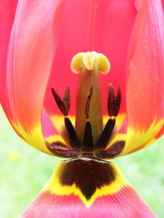 Stamens and pestles of a tulip close up Stock Photo