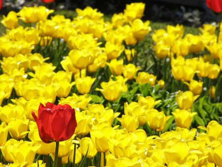 Red tulip and yellow tulips