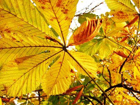 栗の黄色オレンジ色の葉