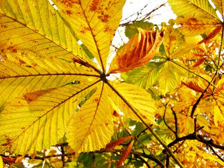 Yellow orange leaves of a chestnut   Stock Photo