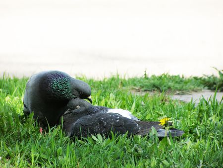 3Pigeons kiss on a grass        Stock Photo