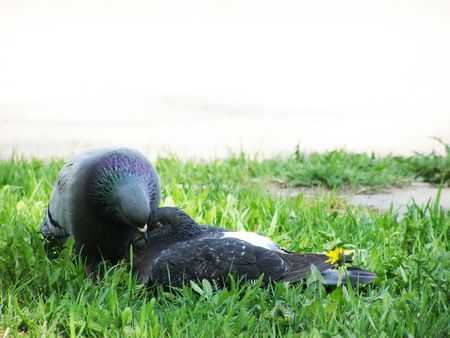 2Pigeons kiss on a grass