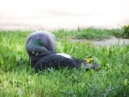 Pigeons kiss on a grass