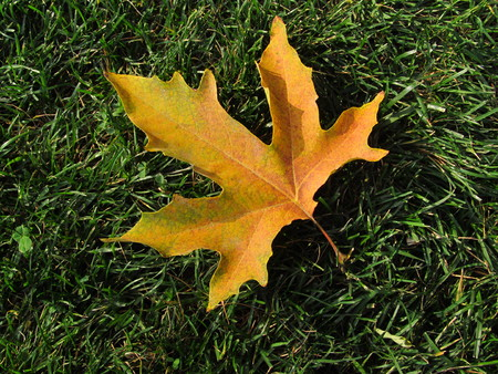 beautiful autumn leaf of maple on the grass in the garden Stock Photo